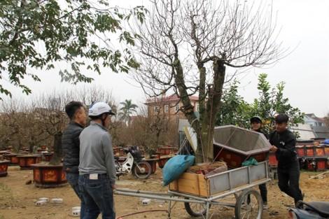 Quất rừng 'khủng' từ bản làng về xuôi giá trăm triệu hút khách