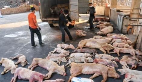 Dịch tả lợn châu Phi đã xuất hiện tại Việt Nam
