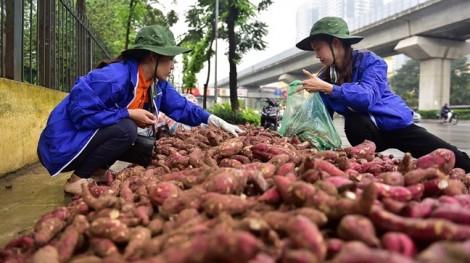 Người Hà Nội bất chấp mưa gió 'giải cứu' khoai lang