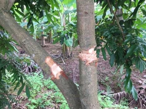 Vườn nhãn gần trăm gốc bị chặt phá, nghi do mâu thuẫn với hàng xóm
