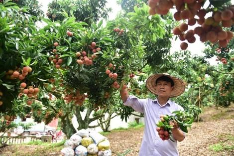 Ép vải thiều mọc quả trên thân cây, lão nông người Sán Dìu kiếm tiền tỷ mỗi năm