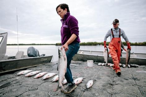 Nắng nóng đạt đỉnh, cá hồi ở Alaska chết chưa từng thấy