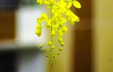 Hoàng yến nở hoa