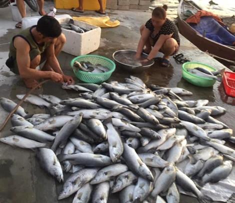 Không tìm thấy độc tố trong 100 tấn cá chết trắng lồng bè ở Hà Tĩnh