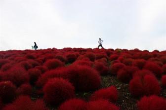 Mùa thu đến Ibaraki ngắm 'chôm chôm khổng lồ'