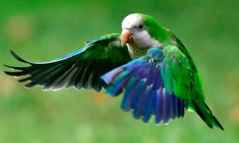 Madrid bắt đầu giết vẹt để …bảo vệ môi trường!