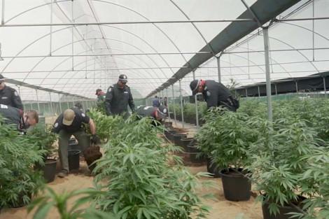 Một người Việt lãnh 7 năm tù vì trồng cần sa ở Úc