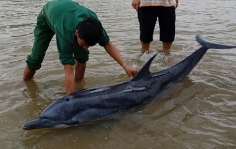 Clip cứu cá heo mắc cạn ở biển Cửa Đại