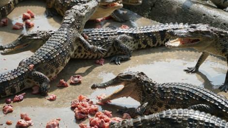 Clip: Cận cảnh những con cá sấu dài 4,5m ở Sài Gòn