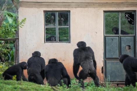 Phá làng, giết trẻ em, tinh tinh trở thành nỗi khiếp sợ tại Uganda