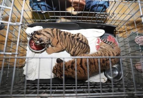 Vứt lại 2 con hổ còn sống để chạy thoát thân khi thấy công an