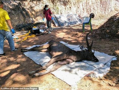 Tìm thấy 7kg rác thải trong bụng một con nai ở Thái Lan