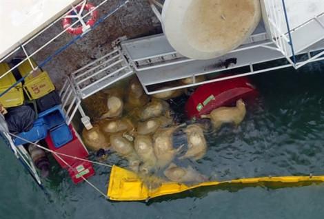 Cứu hộ hơn 14.000 con cừu trên tàu bị đắm