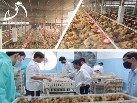 Chuyên cung cấp gà con 1 ngày tuổi - giống Lương Phượng