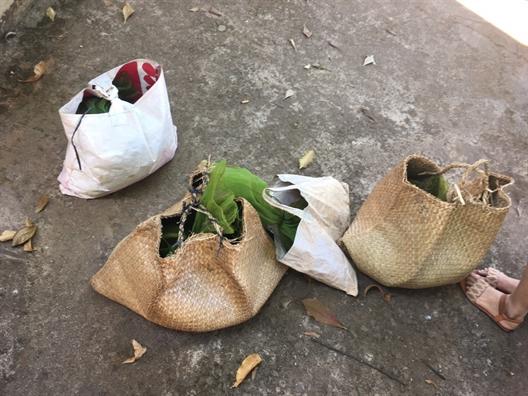 Phat hien 10 ca the cay huong quy hiem van chuyen trai phep ve Viet Nam