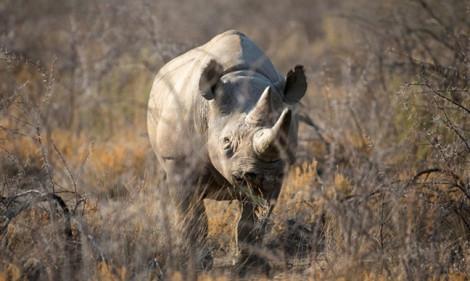 Tê giác già nhất thế giới vừa qua đời
