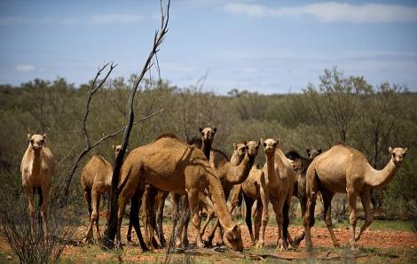 Úc bắn hạ hơn 5.000 con lạc đà để bảo tồn nguồn nước và thực phẩm trong hạn hán