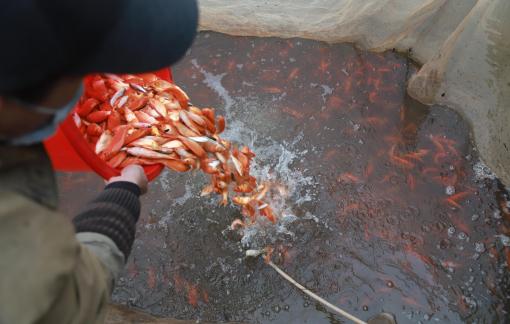 'Thủ phủ' cá chép đỏ miền Bắc kiếm tiền tỷ trước 23 tháng Chạp