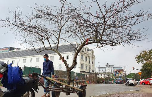 Đào rừng cổ giá trăm triệu ồ ạt xuống phố phục vụ đại gia chơi tết