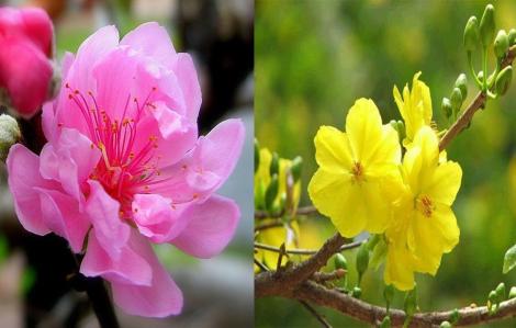 Tại sao hoa đào chữa được bệnh còn hoa mai thì không?