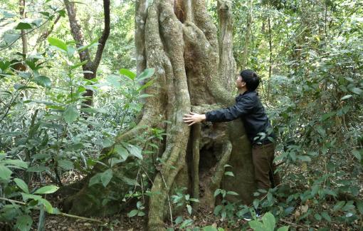 Hương ước kỳ lạ giúp rừng lim cổ thụ 'đứng vững' hàng trăm năm giữa vựa lúa xứ Nghệ