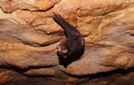 Lo dịch corona, Thái Lan lên kế hoạch kiểm tra dơi trong hang động