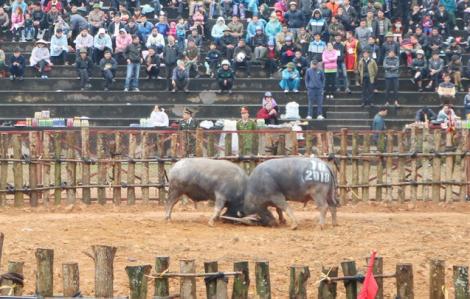 Tạm ngừng tổ chức Lễ hội Chọi trâu Phù Ninh để phòng, chống dịch corona