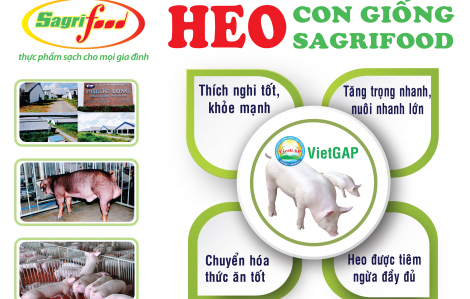 Sagrifood - Nơi cung cấp heo con giống và giải pháp chăn nuôi an toàn