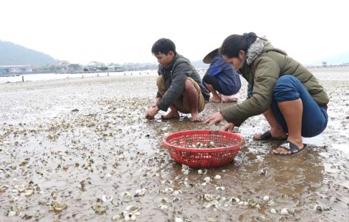 Ngao chết trắng bãi biển, ngư dân thiệt hại tiền tỷ